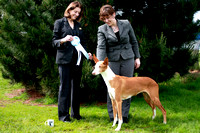 AKC Sierra Slopes Ibizan Hound Specialty Show Select Bitch